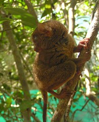 180-degree head turn by a tarsier