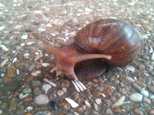 West African Giant Snail