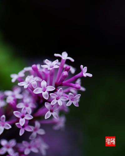D80-CHI_Lilac01_2010-05_15A
