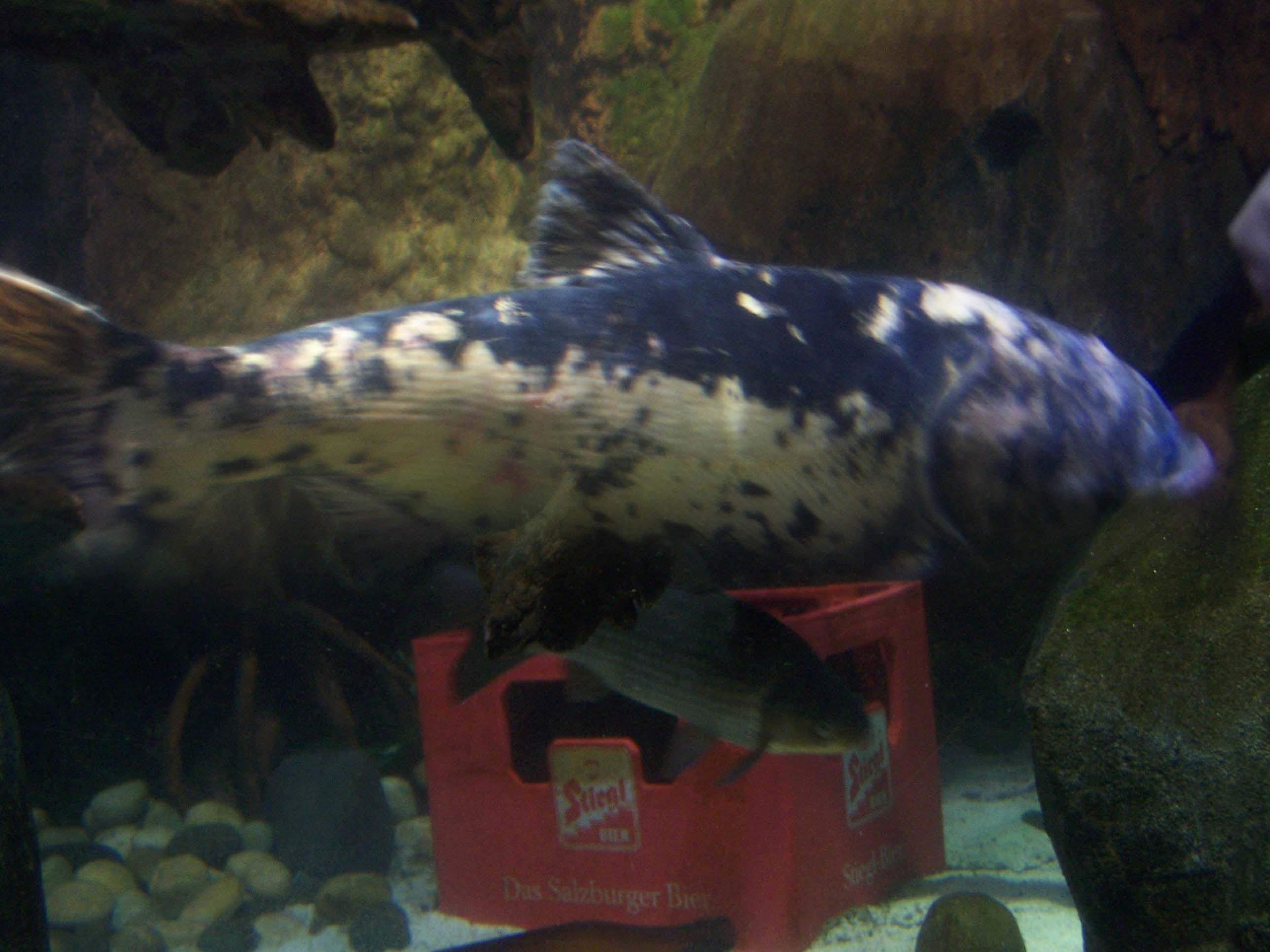 Marmorkarpfen Moby Dick, Stiegl Bräu Salzburg