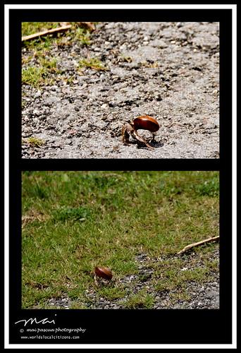 Batanes Hermit Crab