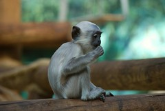Hanuman- Langur im Zoo Parc de Beauval