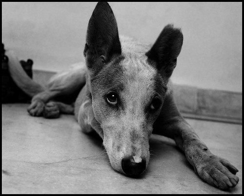 Tripod (Stray Dog)