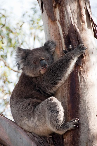 Koala bear in the wild