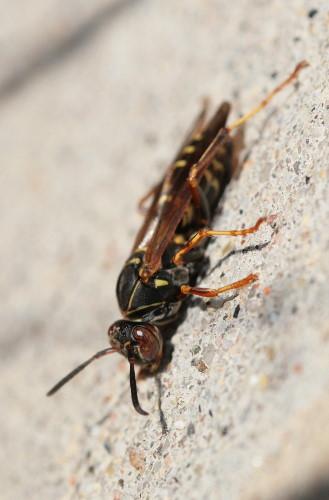 Polistes paper wasp