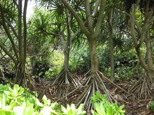 Trees at Waianapanapa State Park
