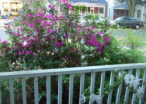 Porch Rhododendron
