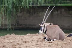 Spießbock im Zoo de La Palmyre