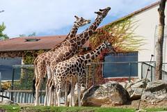 Giraffen im Zoo Parc de Beauval