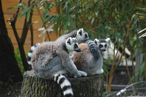 Kattas im Zoo Parc de Beauval