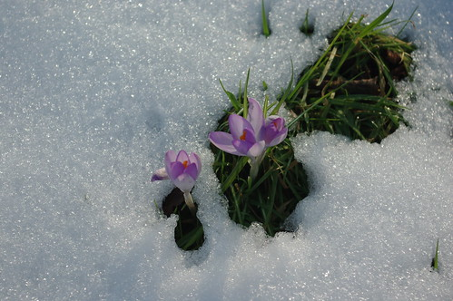 20100220-29_Crocus in the snow - Bilton Green Rugby by gary.hadden