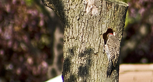Northern Flicker 2