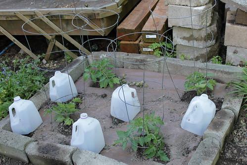 tomato/basil garden bed