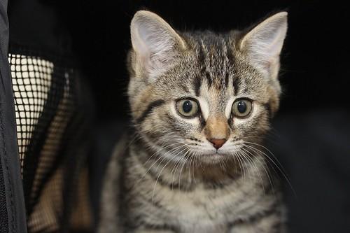 Kitten 01b