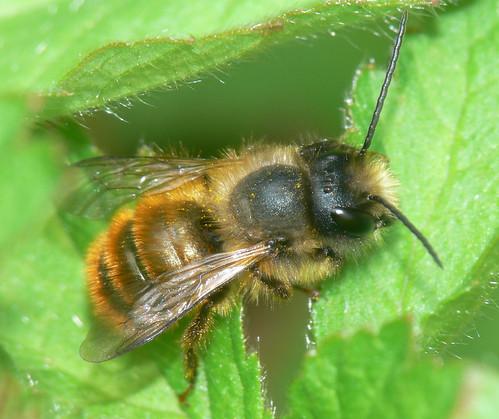 Red mason bee (Osmia rufa)