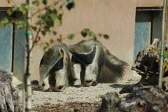 Ameisenbären Aldo und Japura im Parc Zoologique de La Bourbansais
