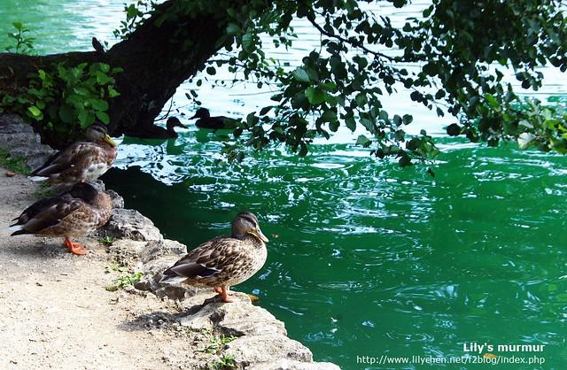 這些綠頭鴨不怕人又好可愛,我後來就一直拿相機拍牠們,拍了好多張哪!