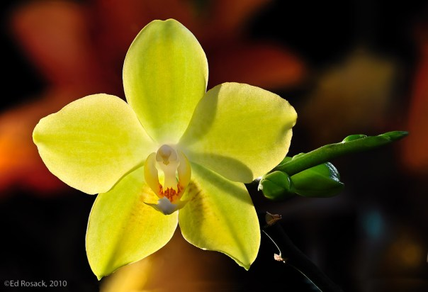 Dry Backlit Orchid - focus bracket at f/8