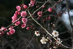 梅(Japanese Apricot at Shikinomori park, Japan)