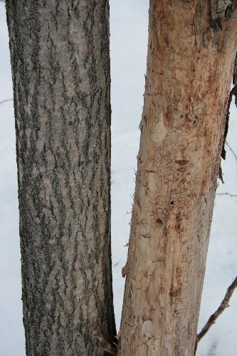 Gypsy Moth egg mass on tree trunk
