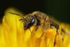 Sweat bee in dandelion flower- Lasioglossum sp ? #3