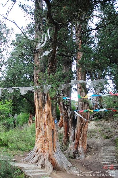 西藏林芝世界柏樹王園林04.jpg