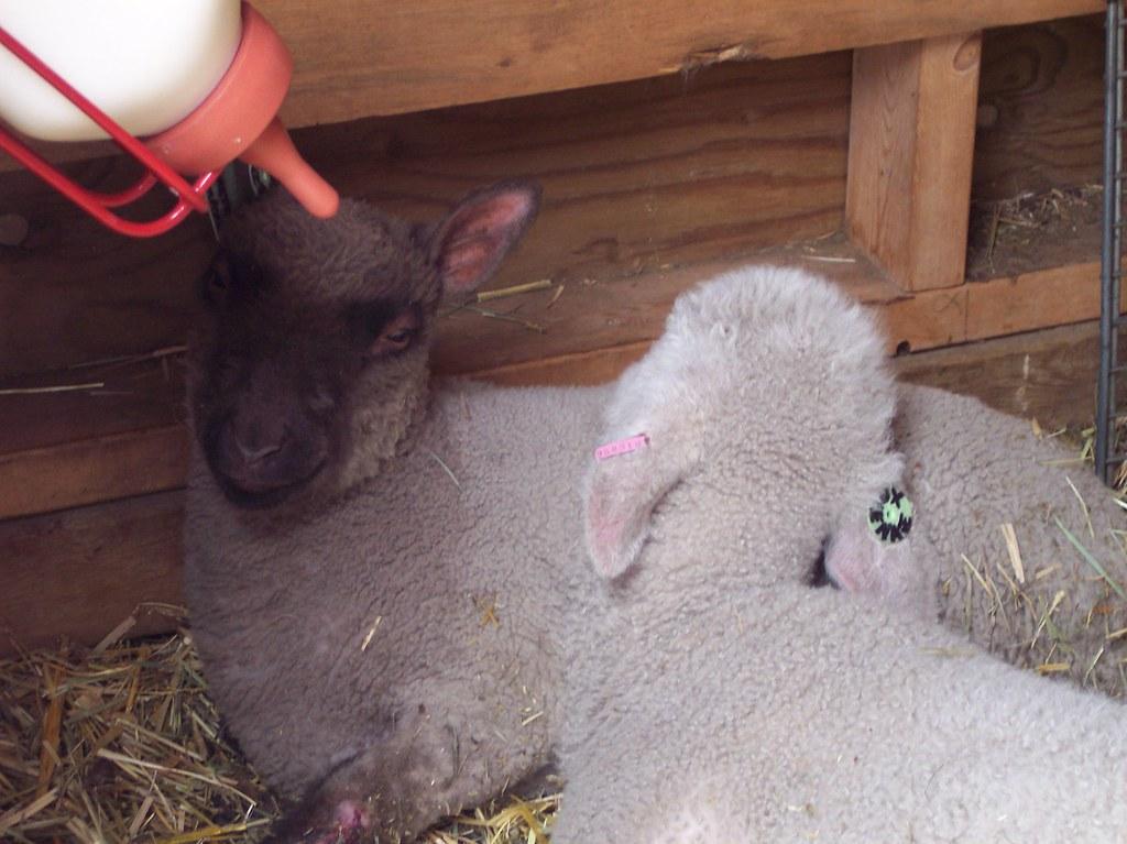 Sheep Shearing 2010 - bottle lambs