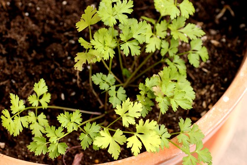 italian flat leaf parsley