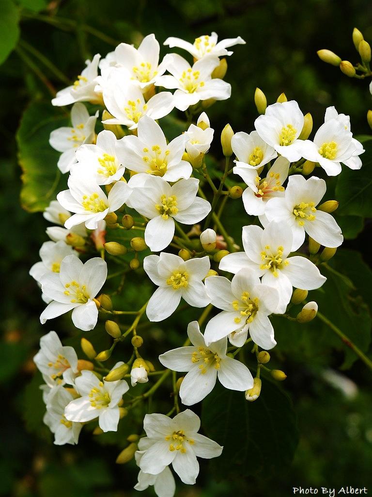【油桐花】在龜山楓樹村遇見四月雪 - 愛伯特吃喝玩樂全記錄