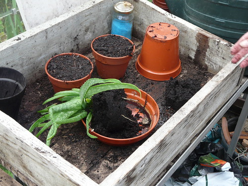 Aloe vera plant being separated