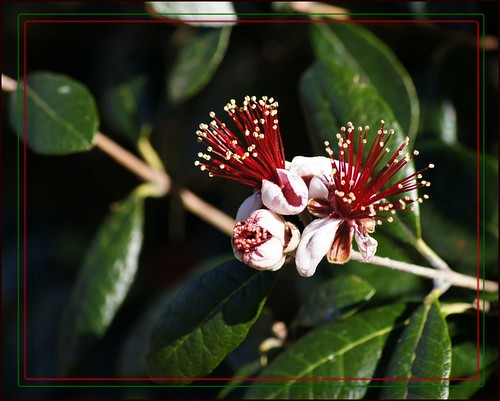 Flowering Feijoa