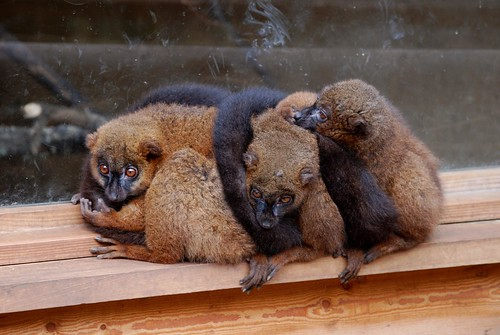 Rotbauchmakis in der Réserve Zoologique de Calviac