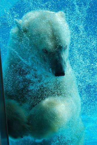 Eisbär Moni im Zoo de La Palmyre