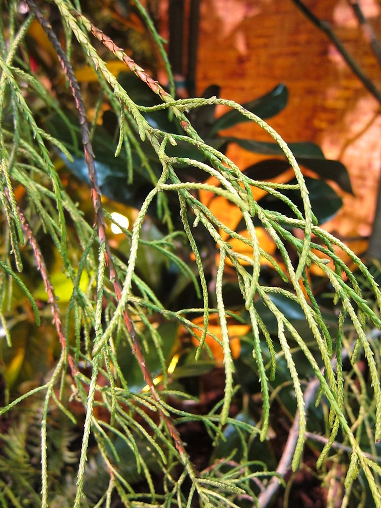 Cypressus macrocarpa 'Saligna aurea'