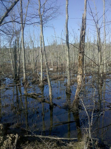 Newport News Park - Swan in a Swamp
