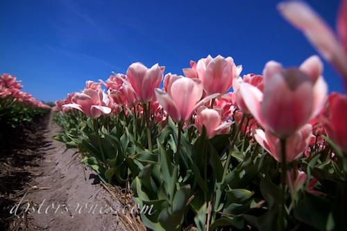 El surco entre tulipanes