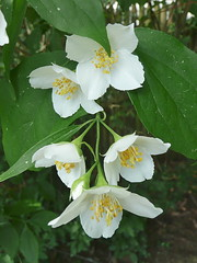 Mock orange, aka Philadelphus
