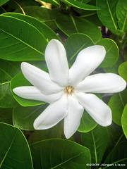Tiare French Polynesia National Flower