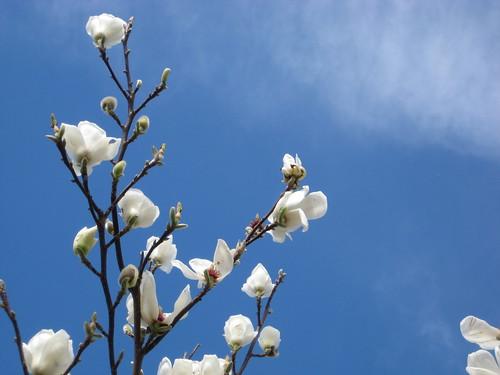 White magnolias against a blue sky