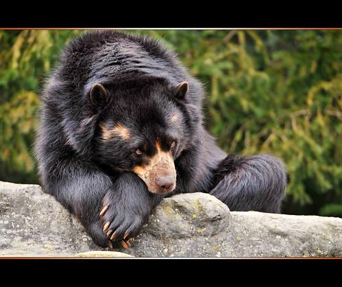 Deperessed and posing bear