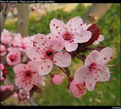 Fleurs de printemps : Prunus pissardii - Prunier myrobolan - Myrobalan plum (Pantchoa) Tags: macro fleur rose jardin provence cassis printemps ville fleurrose pruniermyrobolan myrobalanplum prunuspissardii