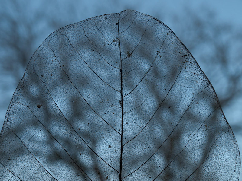 Leaf Skeleton with Tree