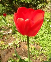 Rote Tulpe 5
