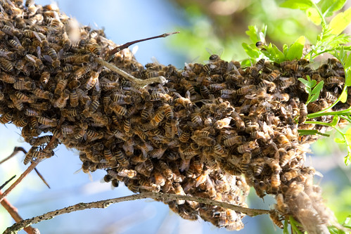 Bees on Branch of Locust Tree
