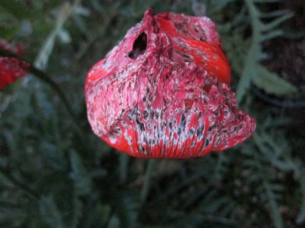Lacy poppy decay