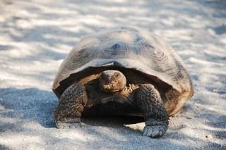 Giant Turtle 2