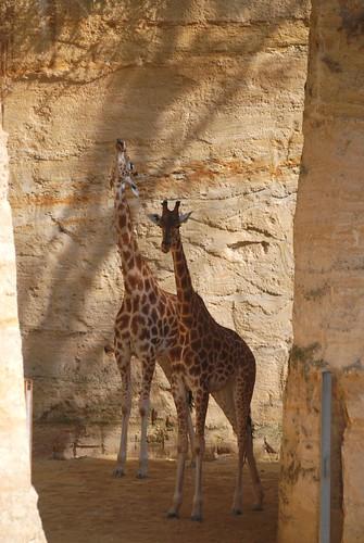 Westafrikanische Giraffen im Zoo de Doué-la-Fontaine