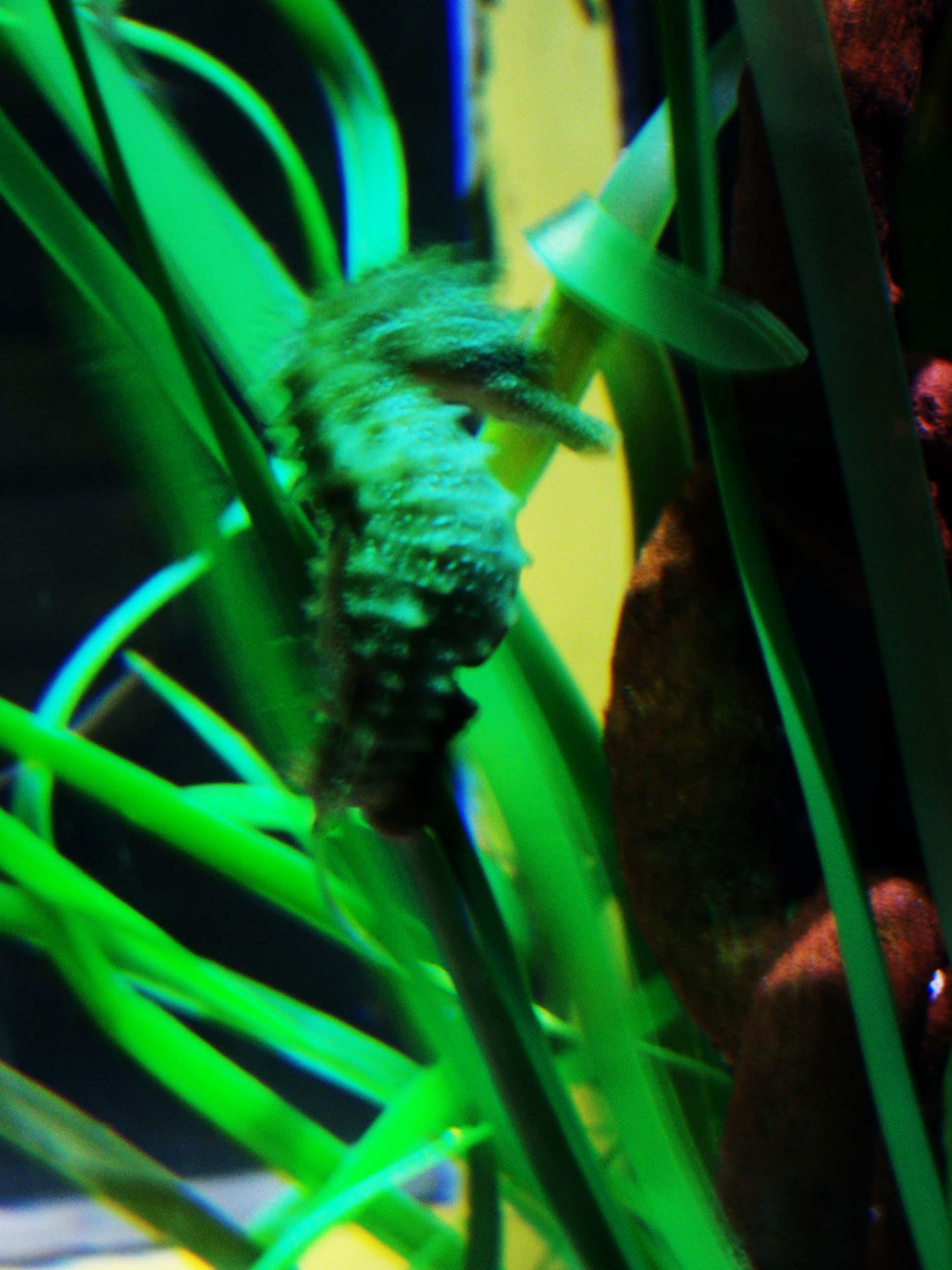 Grünes Seepferdchen