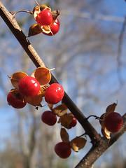 Asian bittersweet (Celastrus orbiculatus) fruit