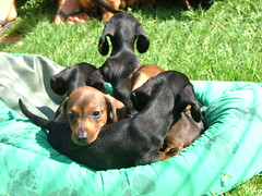 New Dachshunds